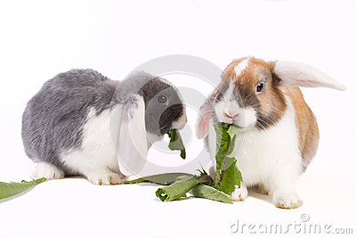 Two young mini-lop rabbits