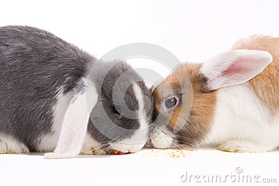 Two young mini-lop rabbits eating