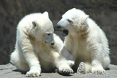 two young polar bears playing