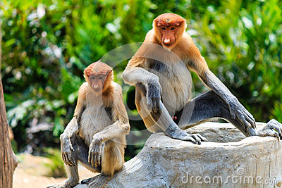 Two young Proboscis Monkeys in Borneo.  Palm oil plantation and