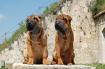 Two young sharpei brother