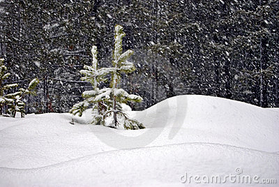 Two Young Trees in a Snowstorm