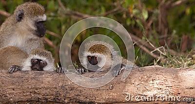 Two young Vervet Monkeys