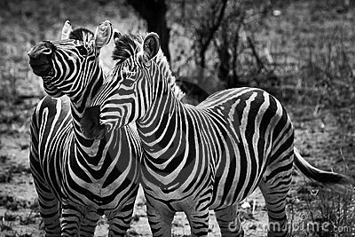 Two zebra animal in close up