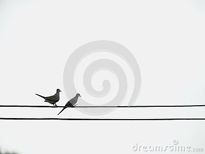 Two zebra doves on electric cable