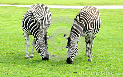 Two Zebra eating
