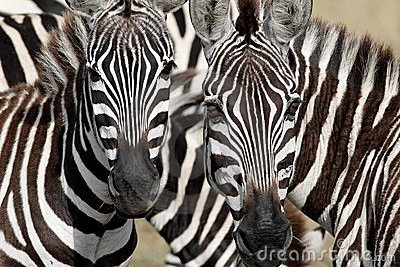 Two zebra faces staring at you
