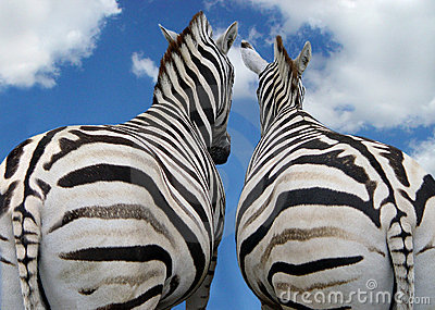 Two zebra in love