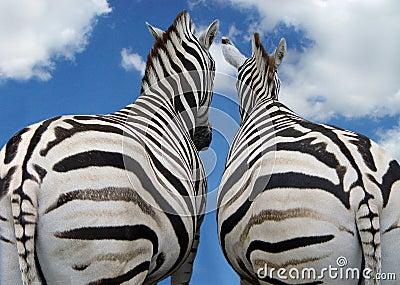 Two zebra in love