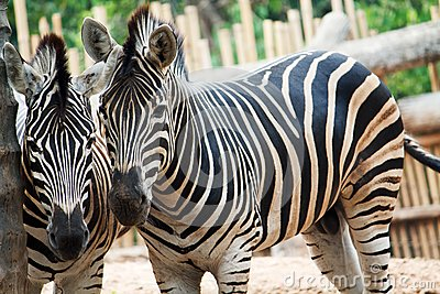 Two zebra starring at the camera