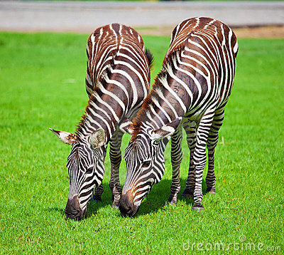 Free Two Zebras Royalty Free Stock Photos - 19837748