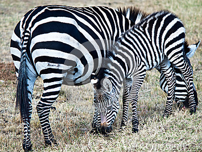 Two zebras eating grass