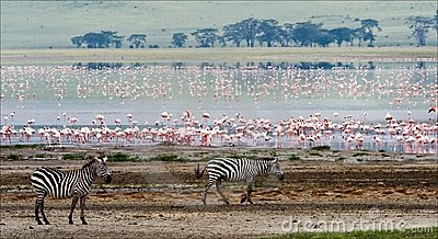 Two zebras and flamingo.