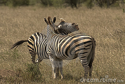 Two zebras on glass plain