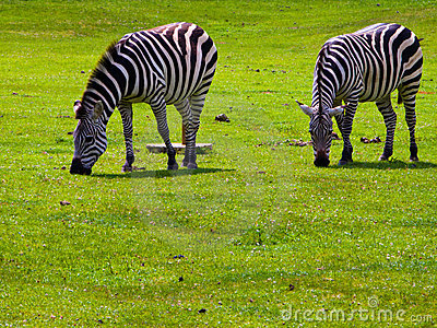 Two Zebras Grazing