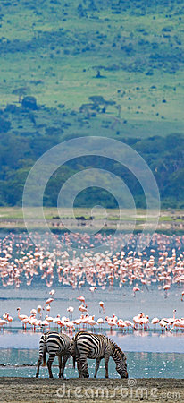 Free Two Zebras In The Background Flamingo. Kenya. Tanzania. National Park. Serengeti. Maasai Mara. Royalty Free Stock Photography - 78912477
