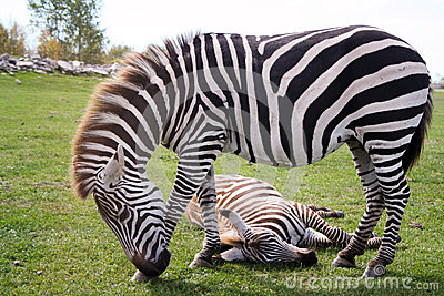 Two zebras, one standing and one sleeping