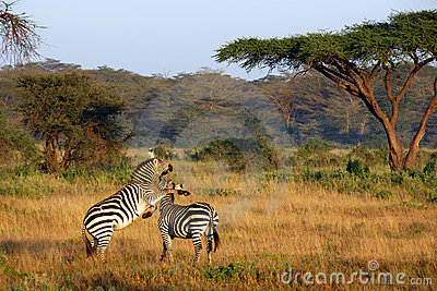 Two zebras playing around
