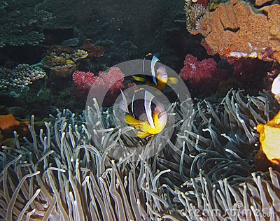 Twobar Anemone Fish