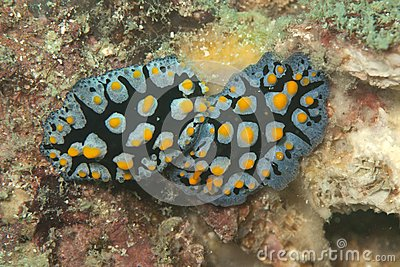 Twos beautiful yellow spotted nudibranch