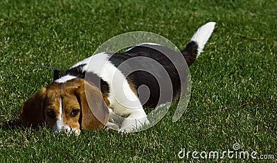 Ty Bawić się Z Ja? - Beagle