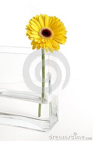 Żółty gerbera