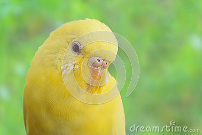 Żółty kanarek