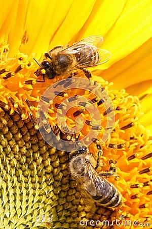 Żółty nektaru