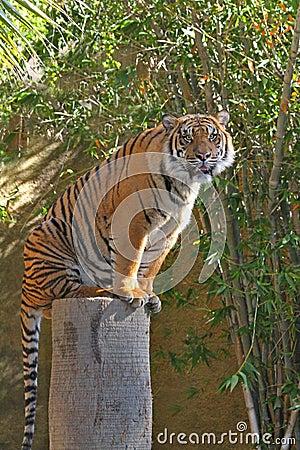 Tygrysi portret