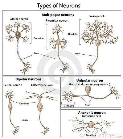 Types Of Neurons Stock Photography - Image: 18808422
