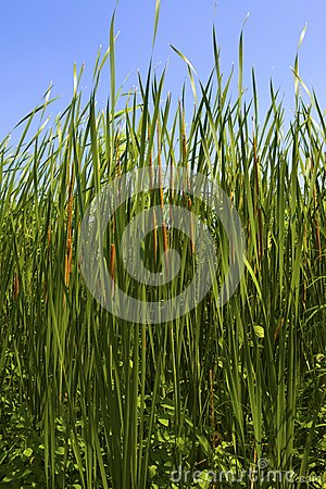 Typha latifolia, Common Bulrush