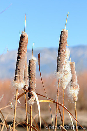 Typha plants
