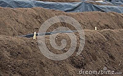 Typical grow of asparqagus