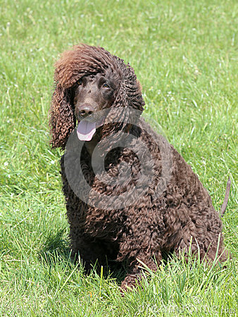 Free Typical Irish Water Spaniel In The Garden Royalty Free Stock Photography - 75685997