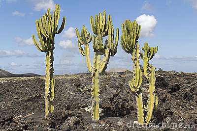 Typical landscape of Lanzarote