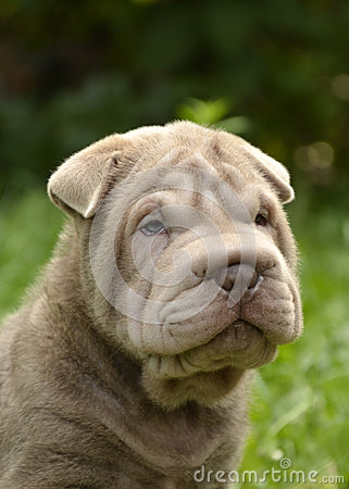 Typical lilac coloured sharpei baby