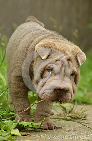 Typical lilac sharpei baby with funny face