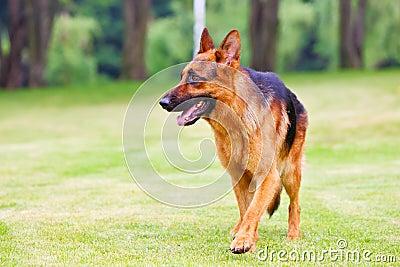 Tysk herde för 2 hund