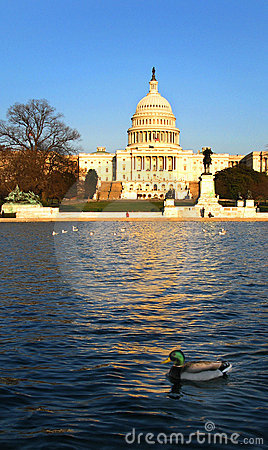 U.S. Capitol and Mallard Duck in Reflecting Pond