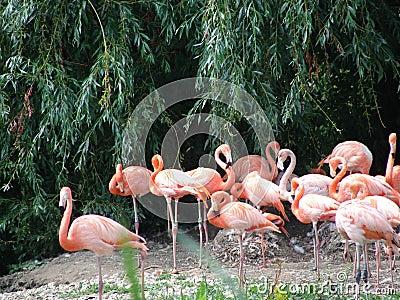 Uccelli rosa del fenicottero