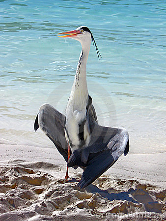 Uccello: Airone grigio