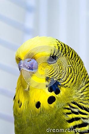 Uccello color giallo canarino