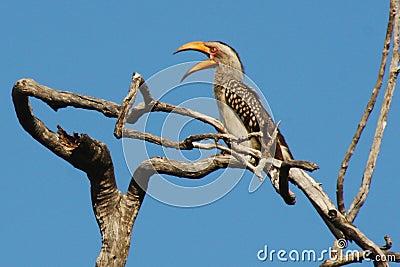 Uccello di Yellowbill