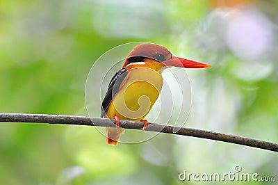 Uccello nero e rosso giallo (martin pescatore di appoggio il nero
