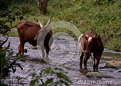 Ugandan Ankole Cows