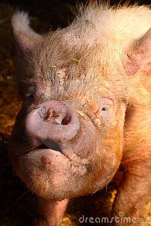 Free Ugly Pig Stock Images - 724104