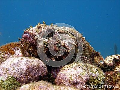 Ugly scorpion fish