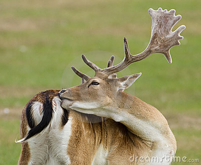 Ugorów jeleni rogi