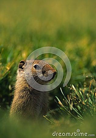 Uinta dello scoiattolo a terra