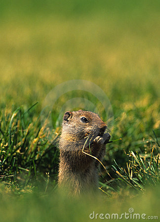 Uinta Ground Squirrel Eating